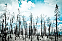 Renewal. Trees after a forest fire Royalty Free Stock Photography