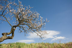 Renewel, scenic shot of old tree blossoming. Stock Photos