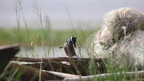 Rengörande fjädrar för Pied kungsfiskare arkivfilmer