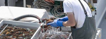 Rengörande levande Maine hummer på en fiskebåt Royaltyfria Foton