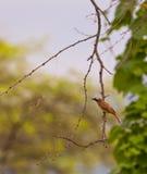 rengöringsduk för spindel för baird flycatcher s fotografering för bildbyråer