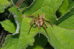 rengöringsduk för spindel för mirabilisbarnkammarepisaura Arkivfoto
