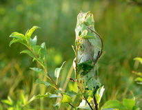 rengöringsduk för tent för caterpillarsrede silk Royaltyfri Foto