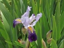 rengöringsduk för universal för mall för sida för iris för hälsning för bakgrundskortblomma Royaltyfri Foto