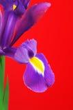 rengöringsduk för universal för mall för sida för iris för hälsning för bakgrundskortblomma Arkivfoto