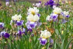 rengöringsduk för universal för mall för sida för iris för hälsning för bakgrundskortblomma Royaltyfria Bilder