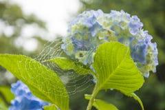 Rengöringsduk med dagg på en vanlig hortensia Royaltyfri Foto