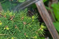 Rengöringsduk och spindel på det gröna trädet Fotografering för Bildbyråer