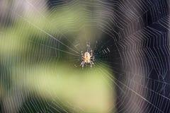 Rengöringsduk och spindelnärbild i solljus på den suddiga bakgrunden av skogen Arkivbilder