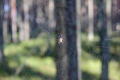 Rengöringsduk och spindelnärbild i solljus på den suddiga bakgrunden av skogen Royaltyfria Foton