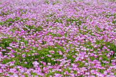 Renge Field in Japan. A field of renge, or Chinese milkvetch, a symbol of spring in Japan; high in nectar and used for fertilizer, it commonly takes hold in stock photo