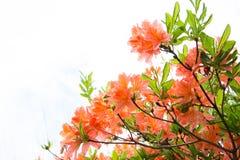 Rengetsutsuji Fotografía de archivo libre de regalías