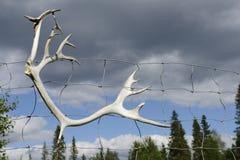 Renhorn på kronhjort på staketet royaltyfri bild