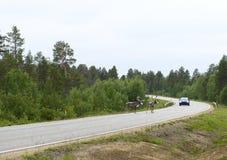 Renifer na drodze. Finlandia. Fotografia Royalty Free