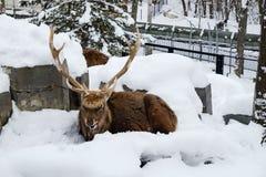 Renifer siedzi na śniegu Zdjęcia Royalty Free