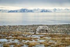 Renifer w arktycznym lecie Fotografia Stock