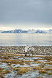 Renifer w arktycznym lecie Obrazy Royalty Free