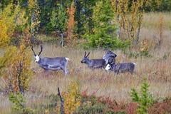 Renifer w jesieni w Sweden Zdjęcie Stock