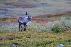 Renifer w jesieni w Sweden Obrazy Stock