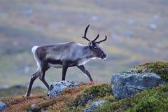 Renifer w jesieni w Sweden Fotografia Stock
