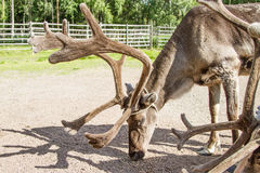 Renifer w Lapland Finlandia Obraz Stock