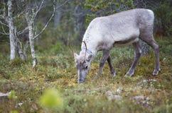 Renifer w lesie Zdjęcia Royalty Free