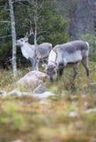 Renifer w lesie Zdjęcie Stock