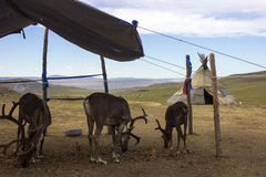 Renifer w Mongolia Fotografia Stock