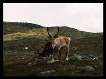 Renifer w norwegii. Spotkałem skubańca w górach. patrzył się chwile i uciek Royalty Free Stock Image