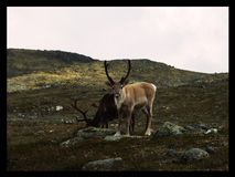 Renifer w norwegii Royalty Free Stock Image