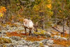 Renifer w pięknym jesień lesie Obraz Stock