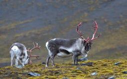 Renifer w Svalbard, Spitsbergen/ obrazy royalty free