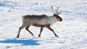 Renifer w zimy tundrze Obraz Royalty Free