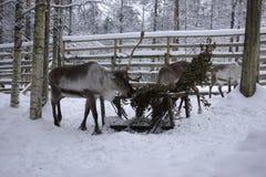 Renifer w zwierzęcym ogródzie Fotografia Stock
