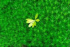 Renifera mech ściany zielona dekoracja robić reniferowy liszaj Obrazy Royalty Free