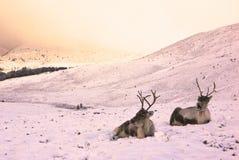 Reniferowa krowa i łydka w śniegu fotografia royalty free