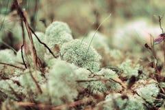 Reniferowy liszaj makro- w miękkim świetle i ostrości Naturalny tło obraz stock
