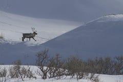 Reniferowy odprowadzenie wzdłuż krawędzi wzgórze w zimie Fotografia Royalty Free