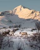 Reniferowy pasanie w Arktycznej zimie zdjęcie royalty free