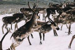 Reniferowy ` s bój na śnieżnej łacie w górach zdjęcie stock