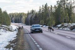 Reniferowy stado na drogowym Szwecja Zdjęcia Royalty Free