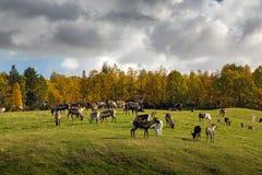 Reniferowy stado na zielonych równinach w jesiennej scenerii obrazy stock