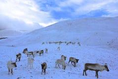 Reniferowy stado w Szkocja fotografia stock