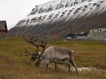reniferowy Svalbardzie Obrazy Royalty Free