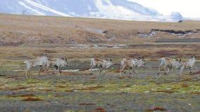 Reniferowy utrzymanie w Iceland zbiory wideo