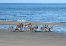 renifery na plaży fotografia royalty free