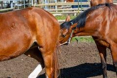 Reniflement de chevaux photo libre de droits