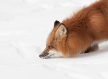 Reniflement de Fox rouge (vulpes de Vulpes) Photo stock