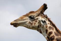 Reniflement de girafe Image stock