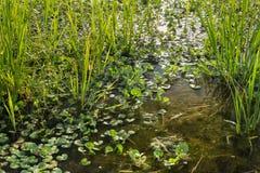 Reniformis del Heteranthera del reniforme di Eterantera, la varietà di l Immagine Stock